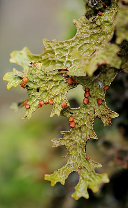 Lobaria pulmonaria, fertile
