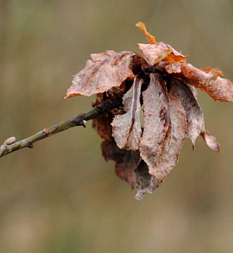 Rabdophaga rosaria gall on Salix aurita