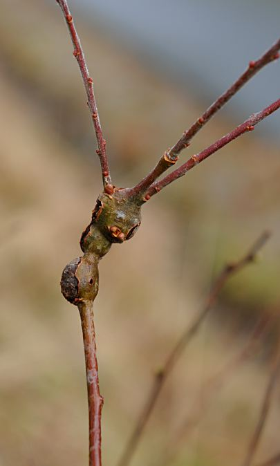 Rabdophaga salicis gall on Salix cinerea