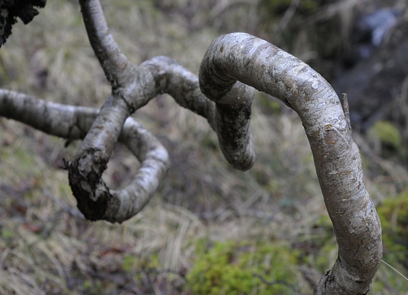 Twisted branch