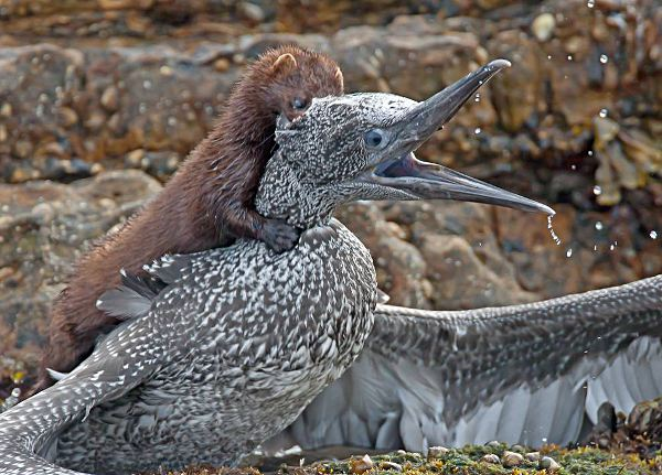 American Mink attacking young Gannet